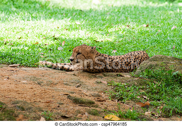 Cheetah lies on the grass - csp47964185