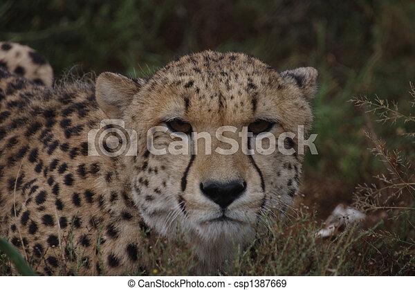Cheetah Looking at the Camera - csp1387669