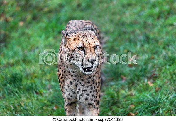 cheetah on a green meadow - csp77544396