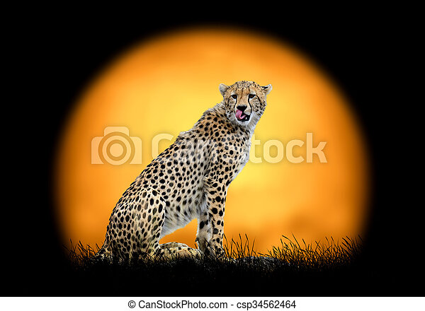 Cheetah on the background of sunset - csp34562464
