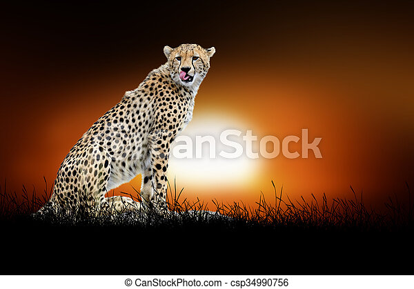 Cheetah on the background of sunset - csp34990756
