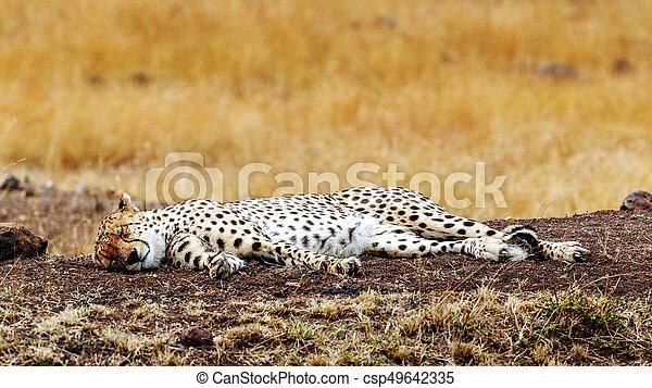cheetah sleeping in africa cheetah cat lying down sleeping in a