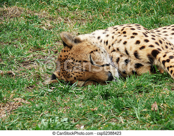 cheetah sleeping in the grass