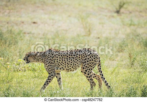Cheetah Walking In The Grass In Kalagadi