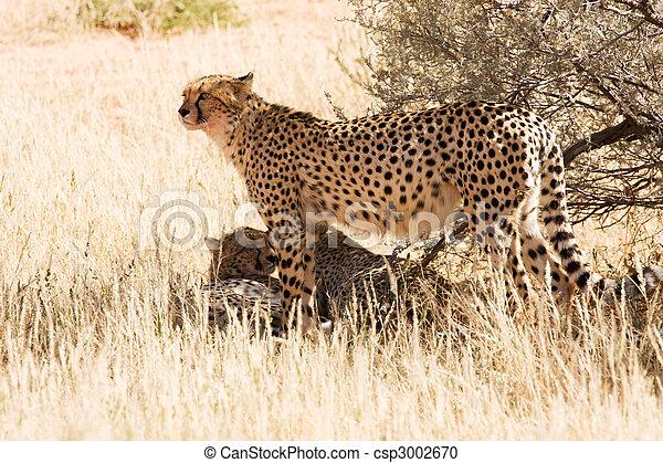 Cheetahs in the Kgalagadi, South Africa - csp3002670