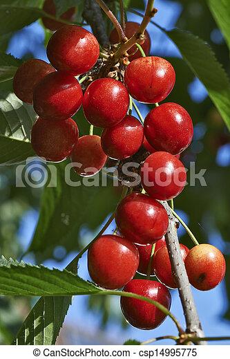 Cherries hanging on a cherry tree branch - csp14995775