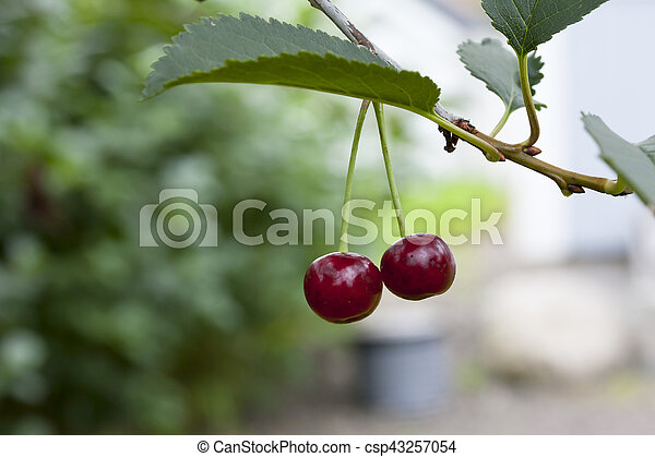 cherries hanging on a cherry tree branch red cherries hanging on a