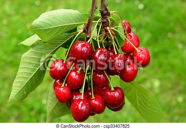 Cherries on a branch 1 - csp33407825