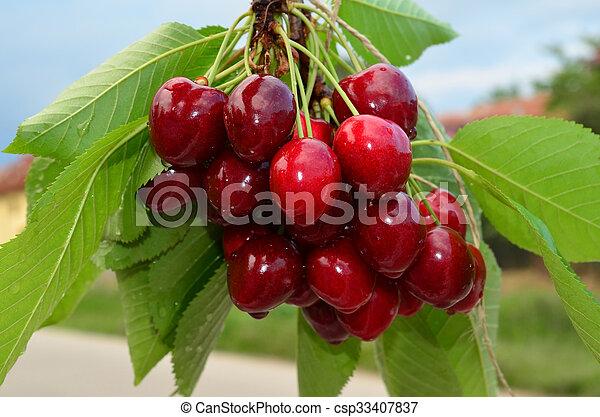 Cherries on a branch 2 - csp33407837