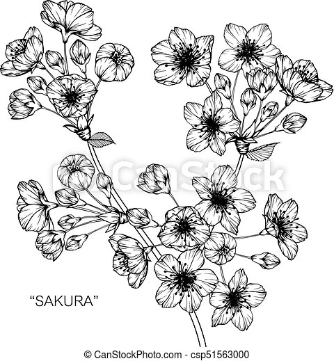 Cherry Blossom Flower Drawing And Sketch With Black White Line Art