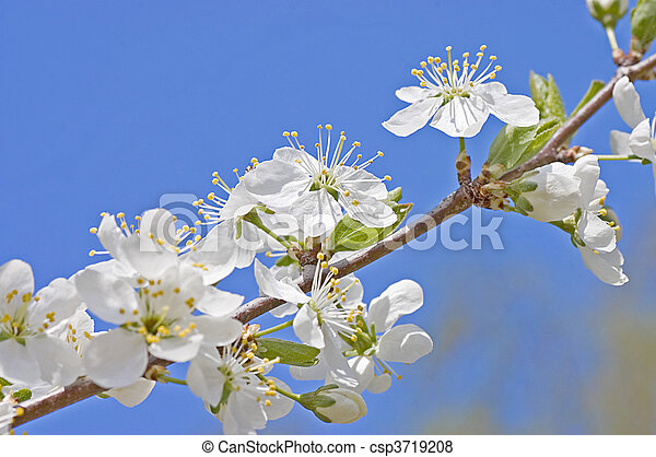 Cherry blossom flowers in spring  - csp3719208