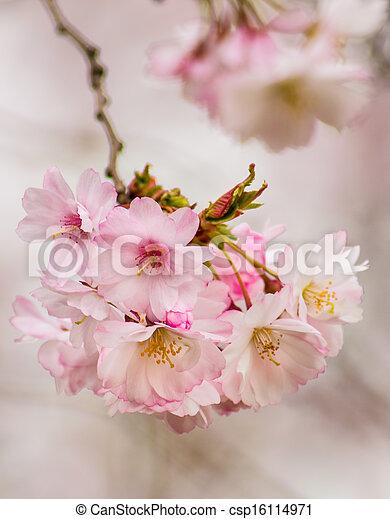 Cherry Blossom Tree - csp16114971