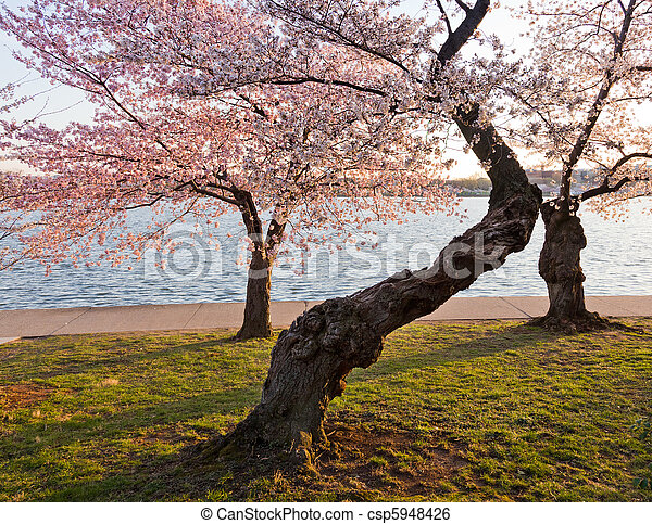 Cherry Blossom Trees By Tidal Basin Old Gnarled Tree By Tidal