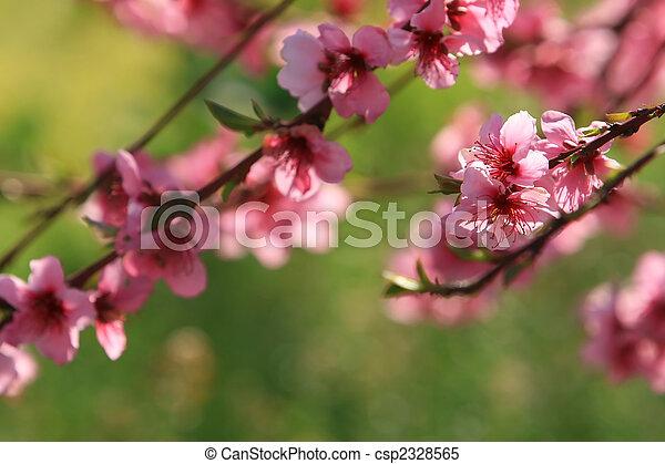 Cherry Blossoms - csp2328565