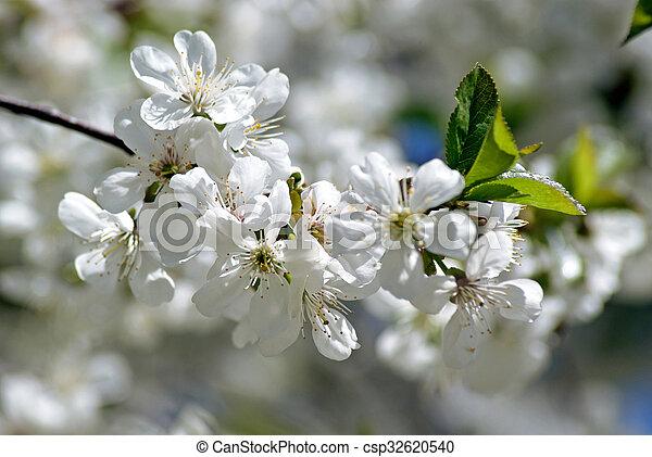 Cherry blossoms - csp32620540