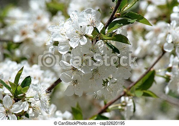 Cherry blossoms - csp32620195
