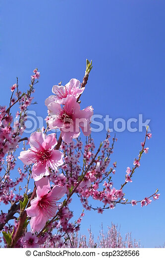 Cherry Blossoms With Blue Sky - csp2328566