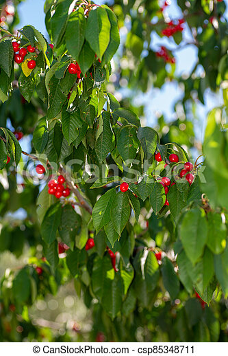 cherry branch with cherries - csp85348711