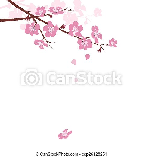 Cherry branch with flowers isolated on white - csp26128251