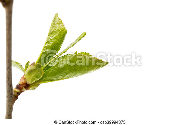 Cherry branch with leaves - csp39994375