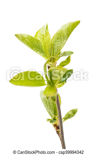 Cherry branch with leaves - csp39994342