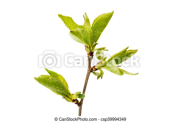 Cherry branch with leaves - csp39994349