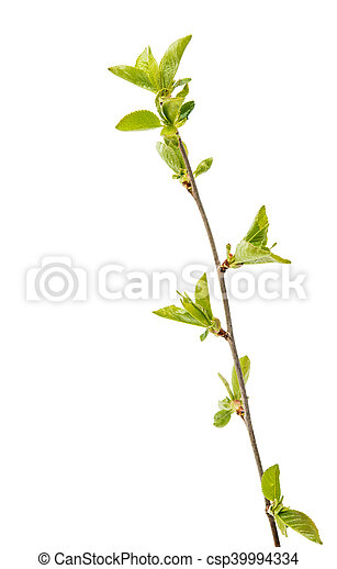 Cherry branch with leaves - csp39994334