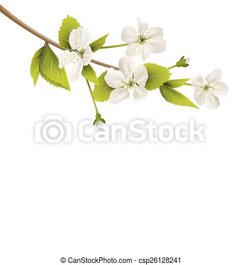 Cherry branch with white flowers isolated on white - csp26128241