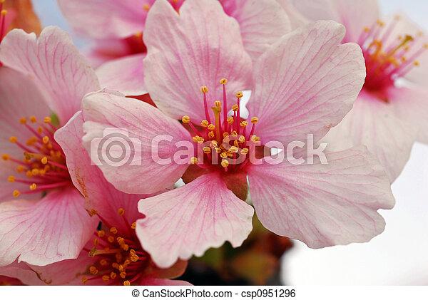 Cherry Flowers - csp0951296