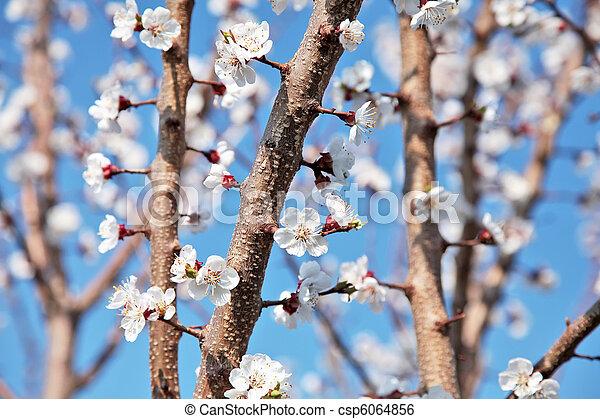 cherry flowers - csp6064856