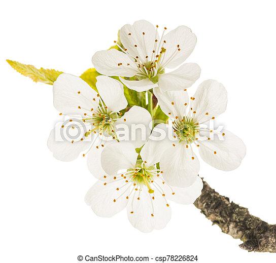 cherry flowers - csp78226824