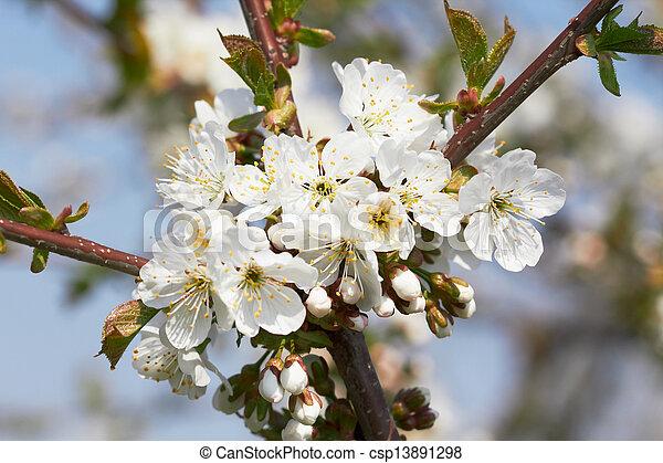 cherry flowers - csp13891298