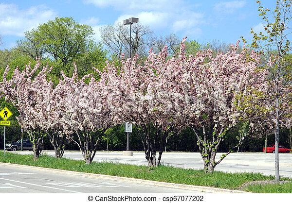 Cherry flowers - csp67077202