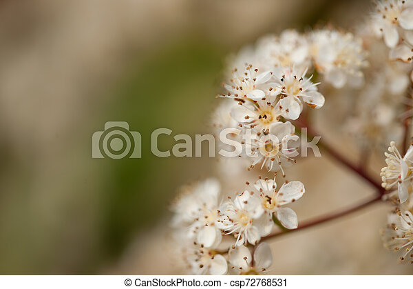 Cherry flowers - csp72768531
