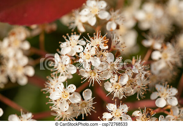 Cherry flowers - csp72768533