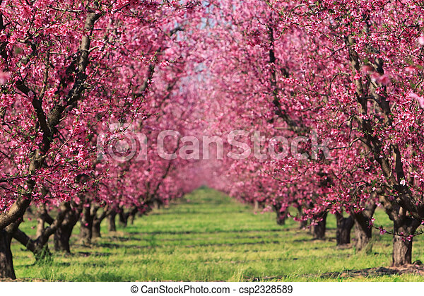 Cherry Orchard in Spring - csp2328589