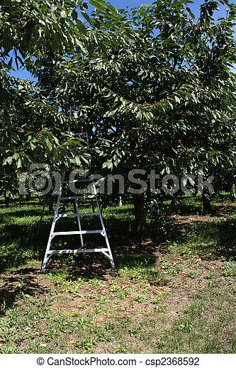 Cherry orchard ladder