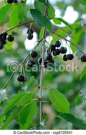 cherry - csp6725541
