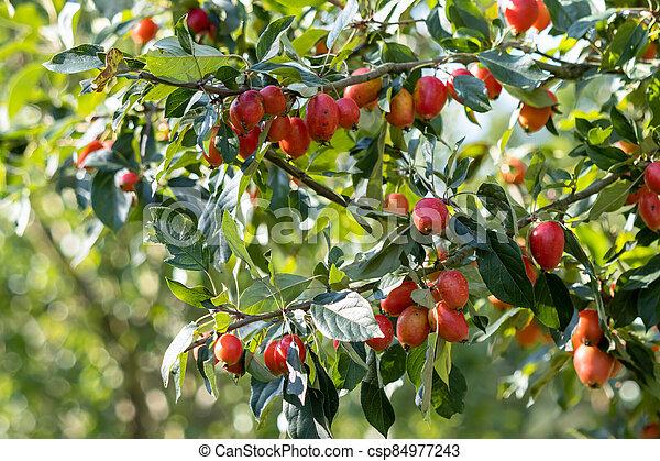 Cherry Plum tree (Prunus cerasifere Ehrh.) producing lots of fruit in late summer - csp84977243
