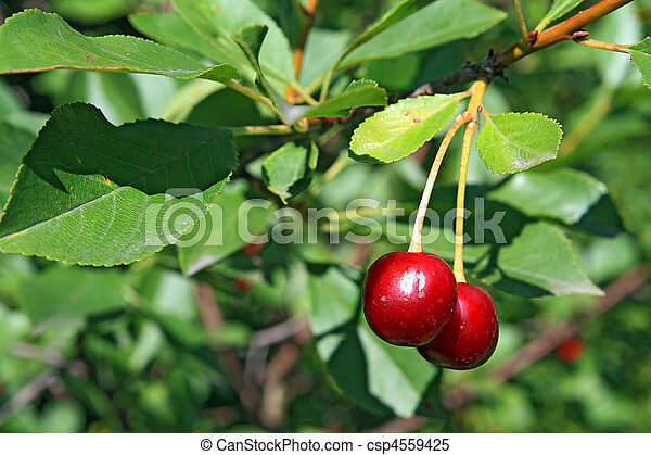 cherry - csp4559425