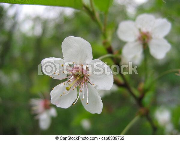cherry-tree - csp0339762