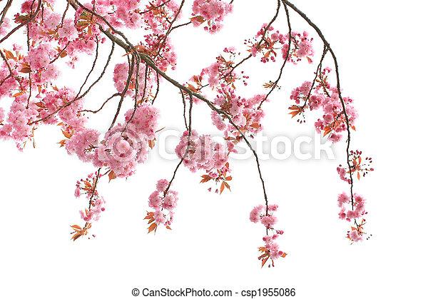 Cherry tree blossom - csp1955086