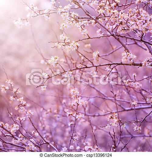 Cherry tree blossom - csp13396124