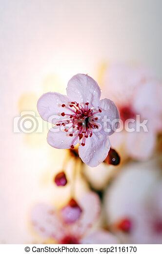cherry tree blossom - csp2116170