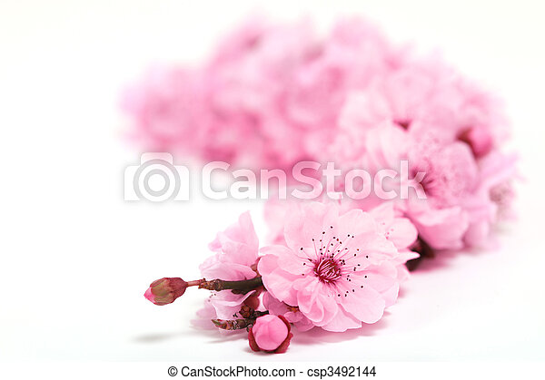 Cherry Tree Blossoms of Spring With Extreme Depth of Field - csp3492144