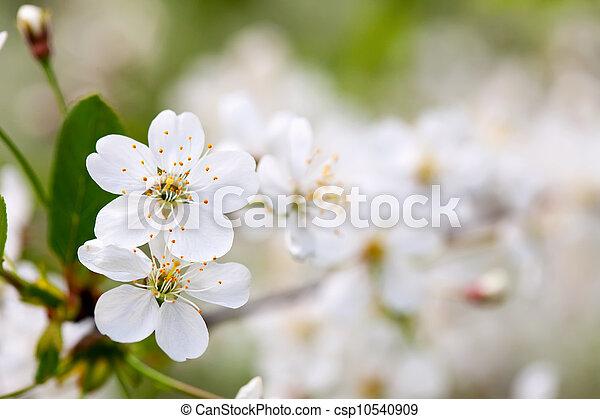 cherry tree branch in  blur background  - csp10540909