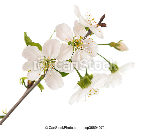 cherry tree branch with flowers - csp36694072