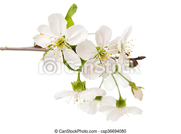 cherry tree branch with flowers - csp36694080