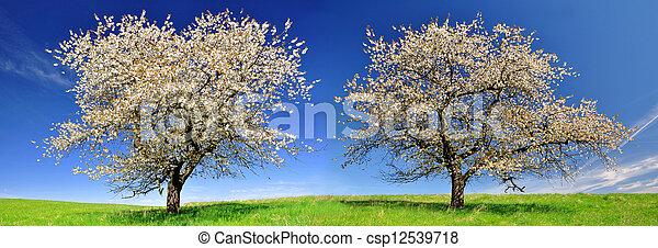 cherry trees - csp12539718
