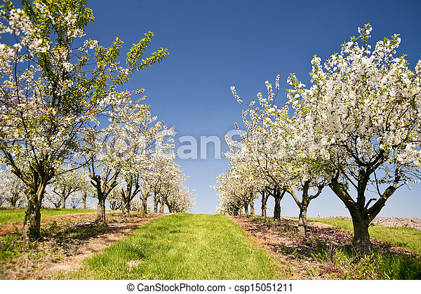 Cherry Trees - csp15051211